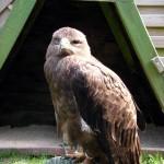 Adler Foto 2